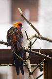 Parrot escaped from captivity in backyard Royalty Free Stock Photography