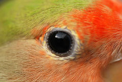 Parrot eye pet Royalty Free Stock Image