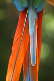 Parrot feather royalty free stock images