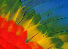 Parrot feathers. Colored feathers of the wing macaw parrot Stock Photography