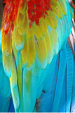 Parrot feathers. Close-up background Stock Image