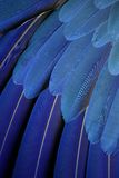 Parrot feathers. Close up of an blue and yellow macaws feathers Royalty Free Stock Photo