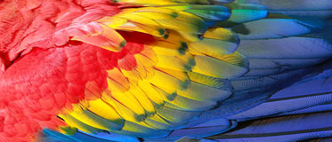 Parrot feathers. Red, yellow and blue exotic texture Stock Photo
