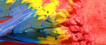 Parrot feathers, red, yellow and blue texture royalty free stock image