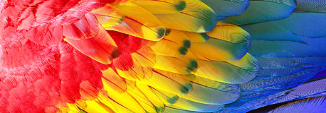 Parrot feathers texture. Parrot feathers, red, yellow and blue exotic texture Stock Photo
