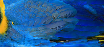 Parrot feathers yellow and blue stock photography