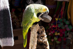 Parrot Feeding Itself Stock Photo
