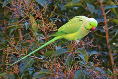 Parrot feeding in tropical forest Stock Photos