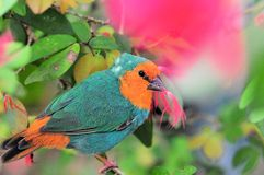 Parrot-Finch Royalty Free Stock Photography