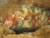 Parrot fish Royalty Free Stock Photography