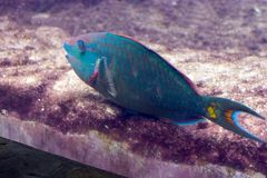 Parrot Fish Royalty Free Stock Image