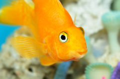 Parrot fish Stock Image