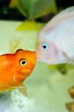 Parrot fish Stock Photography