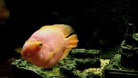 Parrot fish. Aquarium fish close-up stock video footage