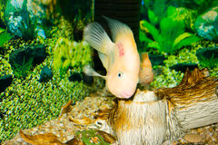 Parrot fish. This is a Parrot fish, photographed in an aquarium Royalty Free Stock Photo