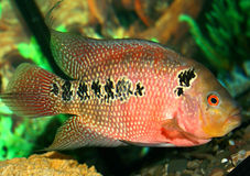 Parrot fish at the aquarium. Motley Parrot fish at the aquarium Royalty Free Stock Image