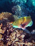 Parrot fish biting corals on a reef in the Red Sea Royalty Free Stock Photography