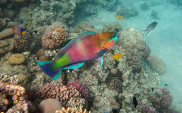 Parrot Fish. Colorful Parrot Fish in the Red Sea reef royalty free stock images