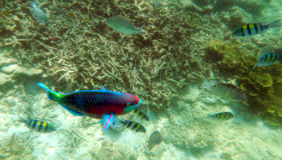 Parrot fish Stock Photo