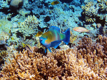 Parrot-fish on the coral reef Royalty Free Stock Image