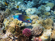 Parrot-fish on the coral reef Royalty Free Stock Images
