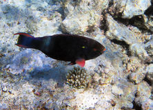 Parrot-fish on the coral reef Stock Images