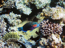 Parrot-fish on the coral reef Royalty Free Stock Photography
