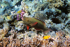 Parrot-fish on the coral reef Stock Photo