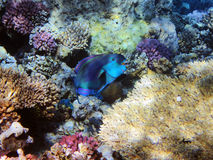 Parrot fish on the coral reef Royalty Free Stock Image