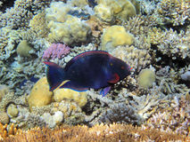 Parrot fish on the coral reef Stock Image