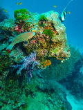Parrot fish and coral reef in Similan Island Royalty Free Stock Photos