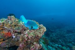Parrot fish eating coral. In the coral reef Royalty Free Stock Image