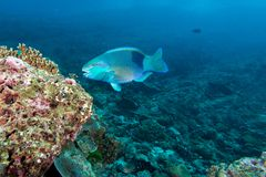 Parrot fish eating coral. In the coral reef Stock Photography