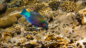 Parrot Fish. Eating coral reef Royalty Free Stock Photos