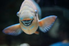 Parrot Fish fused teeth make a beak. The parrot fish feeds on algae and grinds coral then excretes sand. Its teeth are fused to form a beak for scraping at the Royalty Free Stock Photo