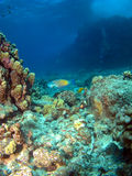 Parrot Fish on a Hawaiian Reef Stock Photos