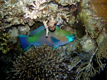 Parrot fish hiding at night Stock Images