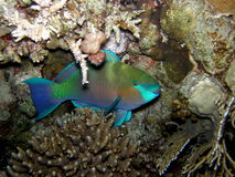 Parrot fish hiding at night - close up Stock Image