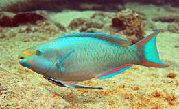 Parrot fish and Hitch hiker. A beautiful parrotfish swims along a tropical reef with a remora hitching a ride on it's underbelly stock images