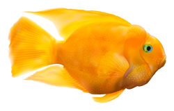 Parrot fish illustration Royalty Free Stock Images