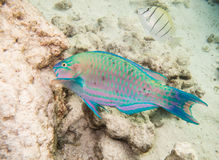 Parrot-fish Stock Images