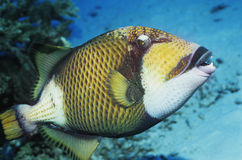 Parrot fish in ocean Royalty Free Stock Photo