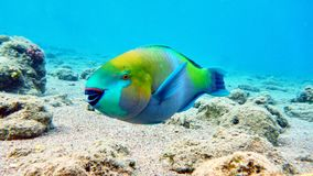 Parrot fish in Red sea Royalty Free Stock Photography