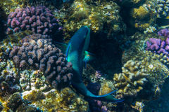 Parrot fish in Red sea. Parrot fish swimming over the corals and eating. Red sea. Egypt Stock Photo