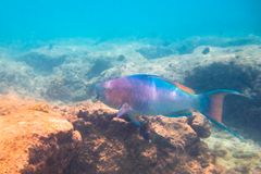 Parrot fish in rocks. Tropical fish underwater royalty free stock photos