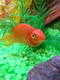 Parrot. Fish smiling swimming fresh water Royalty Free Stock Photography
