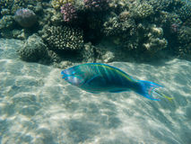 A parrot fish swimming Royalty Free Stock Photography