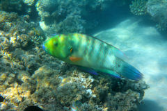 Parrot fish under water Stock Photos