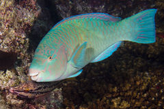 Parrot fish underwater Royalty Free Stock Photo