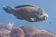 Parrot fish underwater Stock Photos